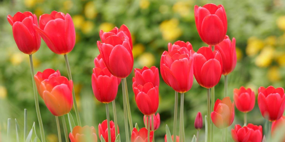 Tulpen Baden-Baden